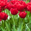Beautiful tulips — Stock Photo #40318499