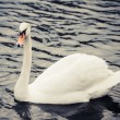 Noble swan — Stock Photo #40645913
