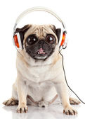 Dog listening to music. Pug Dog with big eyes isolated on White — Stock Photo