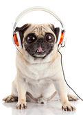Dog listening to music. Pug Dog with big eyes isolated on White — Stock Photo