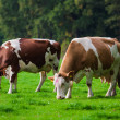 Stock Photo: Cows on green meadow