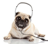 Dog listening to music. Pug Dog with big eyes — Stock Photo