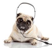 Dog listening to music. Pug Dog with big eyes — Stock Photo
