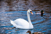 Noble swan. White swan in blue water — Foto Stock