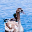 Young Swan. — Stock Photo #40811279
