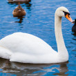 Noble swan.  white swin blue water  — Stock Photo #41209449