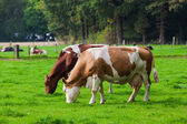 Cows on green meadow  — Stock Photo