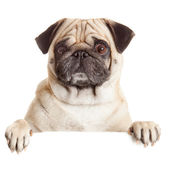 Pug Dog with blank billboard. Dog above banner or sign. Pug dog  — Stock Photo
