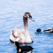 Stock Photo: Young  Swan.
