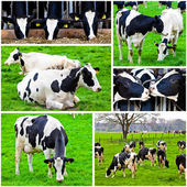 Cows in a farm.  Cows on meadow.Grazing calves — Stock Photo