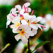 Frangipani.  Pumeria — Stock Photo