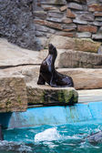 Sea Lion. Seal — Stock Photo