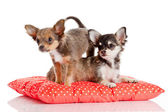 Chihuahua puppy isolated on white. Lovely puppy — Stock Photo