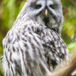 Eagle Owl — Stock Photo #41638867