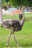 Ostrich in zoo — Stock Photo