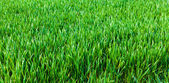 Grass background.  Green grass texture — Stock Photo