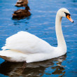Noble swan.  white swin blue water  — Stock Photo #41640841