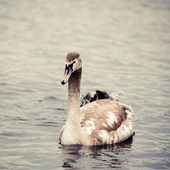 Young  Swan.  Portrait of a young swan — Stock Photo
