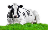Cow on meadow isolated on white — Stock Photo