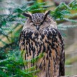 Eagle Owl. — Stock Photo #41721609