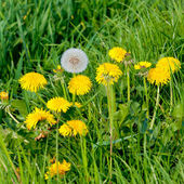 Yellow dandelion flowers — Stock Photo