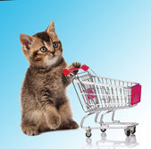 British cat with shopping cart — Stock Photo