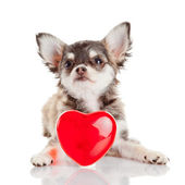 Chihuahua puppy with heart — Foto Stock