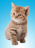 Kitten on blue background — Stock Photo