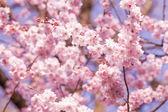 Pink sakura flower — Stock Photo