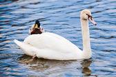 Noble swan — Stock Photo