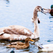 Young Swan. — Stock Photo #42563615