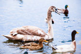Young  Swan. — Stock Photo