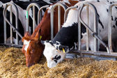 Cows in a farm. Dairy cows in a farm.  — Stock Photo