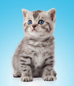 Kitten on a blue background — Stock Photo