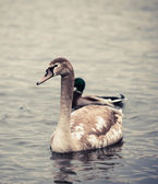 Young  Swan.  Portrait of a young swan — Stok fotoğraf