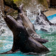 Sea Lion. Seal — Stockfoto