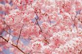 Cherry blossom, sakura flower — Stock Photo