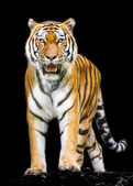 tiger on black background — Stock Photo