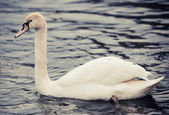 Noble swan — Stock fotografie