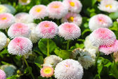 Closeup of daisy in garden . Bellis perennis . rob roy . flowers — Stock Photo