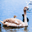 Young Swan. — Stock Photo #42991003