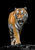 Tiger på svart bakgrund — Stockfoto