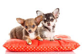Two small Chihuahua puppies.  Chihuahua dog on red pillow isolat — Stockfoto