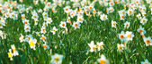 Daffodil flower or narcissus — Stock Photo