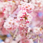 Sakura flowers blooming. Beautiful pink cherry blossom  — Stock Photo #43336769