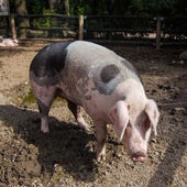 Big pig — Stock Photo
