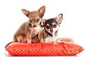 Two small Chihuahua puppies.  Chihuahua dog on red pillow isolat — Foto de Stock