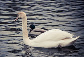 Noble swan — Stock Photo