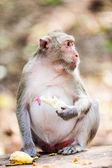 Opice jíst banán — Stock fotografie