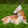 Samoyed dog repainted on leopard. groomed dog. pet grooming. — Stock Photo